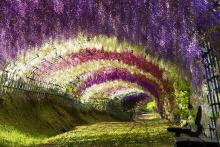 Wisteria Tunnel, Japanese Gardens