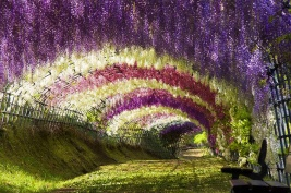 Wisteria Tunnel, Japanese Gardens