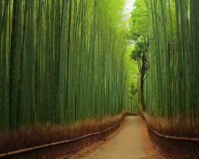 Sango bamboo forest near kyoto japan