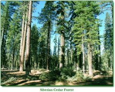 Siberian Pine, so many medicinal uses, there are too many to list