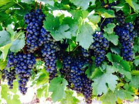 Grapes, wine, stuffed grape leaves, anybody?
