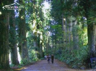 kanagawa japan cedar trees