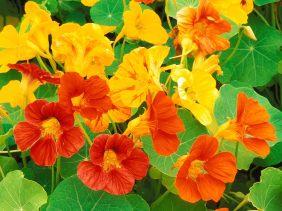 Nasturtium, edible, depletion of life force, too intellectual