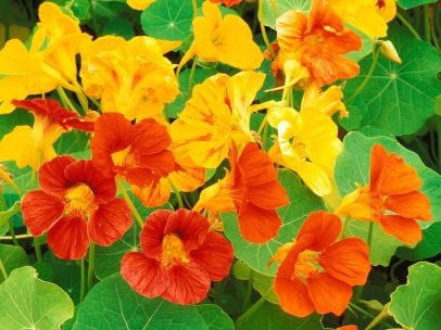Nasturtium, edible, depletion of life force, too intellectual