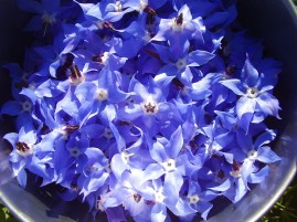 edible borage flower -high in omega 3. buoyant courage & optimism & one of the better companion plants for almost all plants.