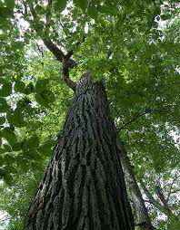 This tree may be very old. You can't wrap your arms around it. The acorns can be planted any time of the year or used to make flour.