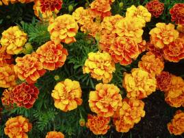 Marigolds have traditionally been used as borders around treasured flower beds and vegetable gardens. Scented varieties of marigold will deter beetles, beet leaf hoppers, Mexican bean beetle and nematodes. Pot marigold repels asparagus beetle and tomato worm and Mexican marigold is thought to repel rabbits. Newer hybrids don't seem to have this property, though. Also, pesticide can be made from the roots. Marigold blossoms can be strung between doorposts to keep evil out of the house. If a girl steps onmarigold petals with her bare feet, she will be able to understand the languages of birds.