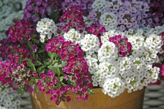 Sweet Alyssum attracts beneficial insects